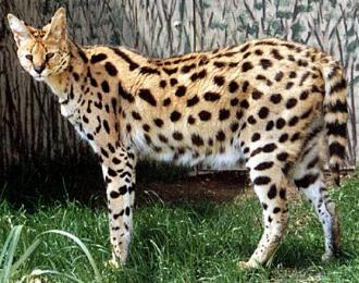 Serval (félin du désert)